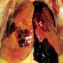 Penyebab Fatty Liver Hemorrhagic Syndrome (FLHS)