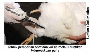 Penggunaan Obat Tepat, Ayam Sehat
