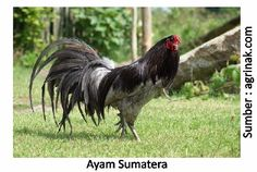 Mengenal Ayam Lokal, Galur Murni Berpotensi Besar