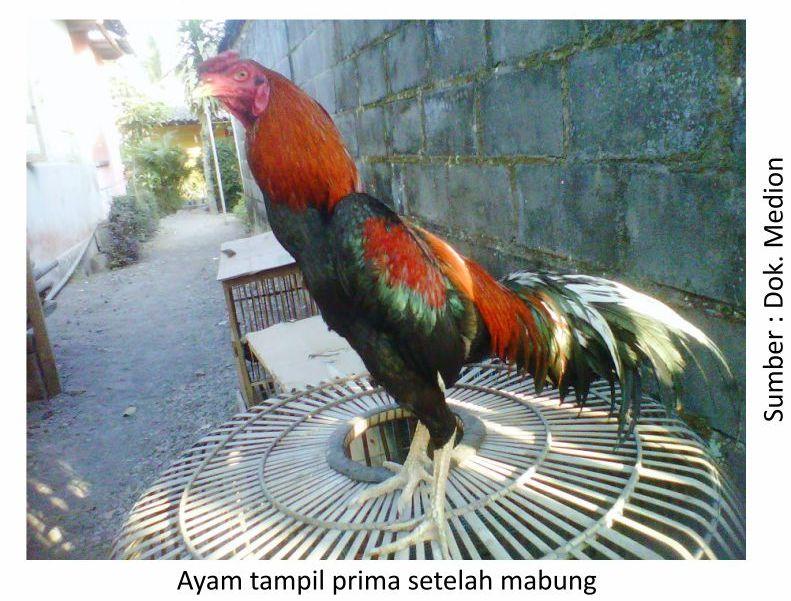 Mempersingkat Masa Pergantian Bulu Ayam Aduan Medion