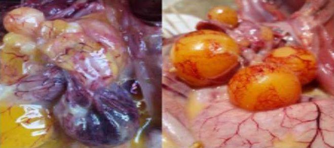 Berbagai Penyebab Penurunan Produksi Telur