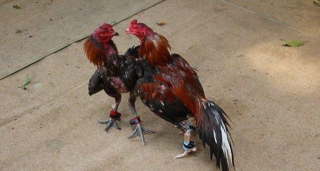 Mengatasi Turun Urat Pada Ayam Laga