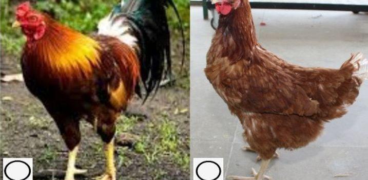 Mengenal Seputar Ayam Joper Pedaging