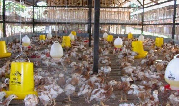 Penyebab Ayam Terlambat Berproduksi