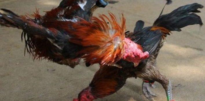 Menjaga Stamina Ayam Laga