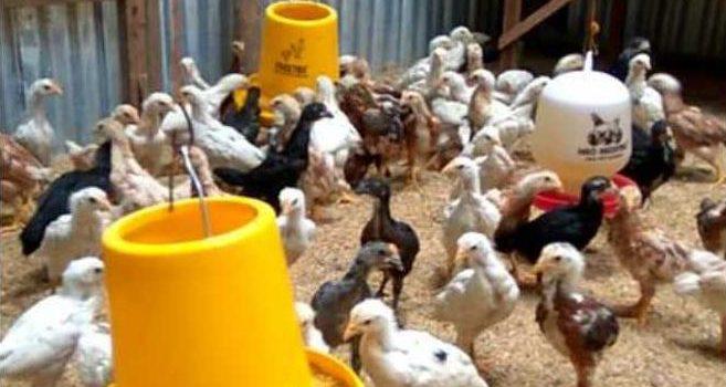 Kiat Menjaga Kesehatan Ayam Joper