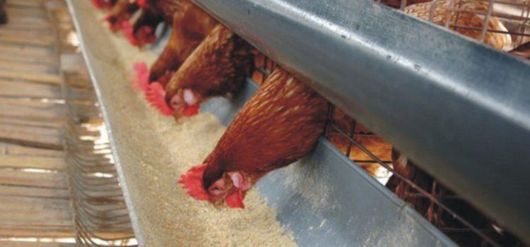 Pentingnya Suplementasi Mineral untuk Ayam Petelur