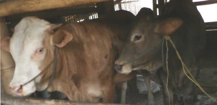 Meningkatkan Nafsu Makan Ternak