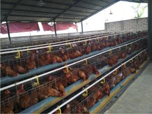 Peranan Enzim untuk Ayam