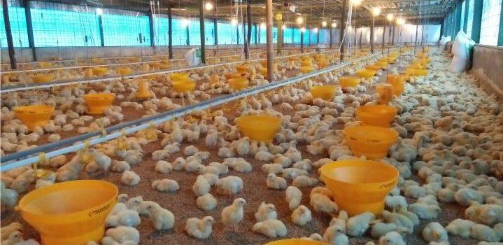 Pola Pertumbuhan Ayam Broiler