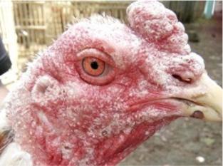 Mengobati Penyakit Jamur pada Ayam Laga