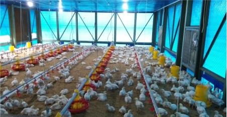 Herbal untuk Menjaga Kesehatan Ayam