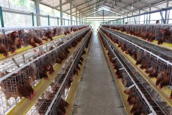 Menjaga Kesehatan Ayam Tanpa AGP