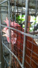 Mengatasi Cekrek Pada Ayam