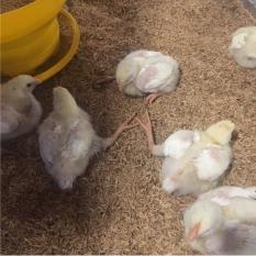 Ayam Lumpuh dan Kaki Kering